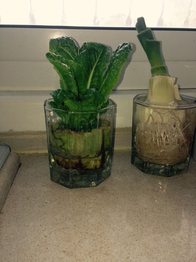 regrowing lettuce on my kitchen counter, container gardening, gardening, homesteading
