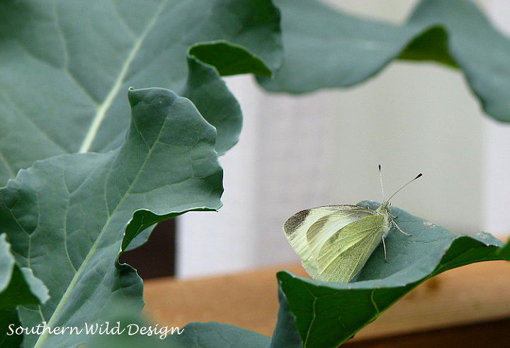 how to feed a caterpillar, gardening, how to