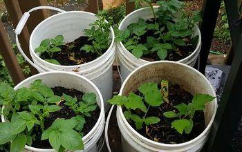 Potatoes in 5 gal buckets