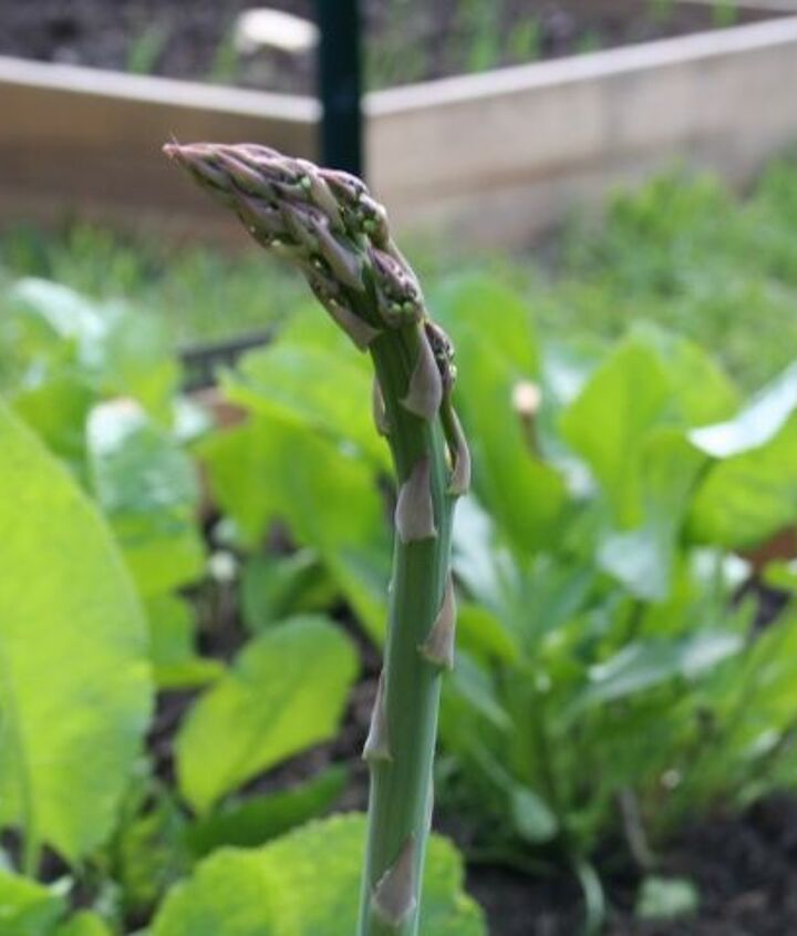 Asparagus in the raised bed.