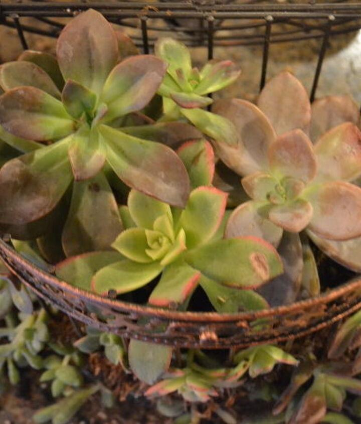 how to make a succulent birdcage wreath, crafts, flowers, gardening, how to, repurposing upcycling, succulents