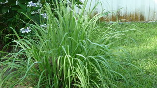 , One of my lemongrass plants