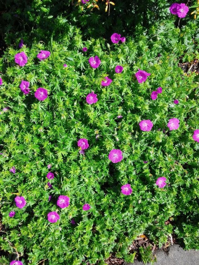 q what kind of perennial is this, container gardening, flowers, gardening, perennial, What is this Low growing perennial spreads mounds