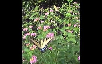 Watch this video of butterflies in the garden. You can enjoy this in your yard THIS SUMMER if you plan now/plant soon!