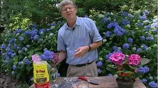 , Change the color of your hydrangeas video