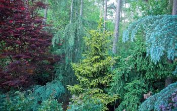 creating spring color with japanese maples and conifers in my garden, gardening, landscape