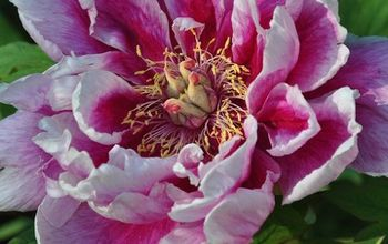 How to Plant & Care for a Tree Peony