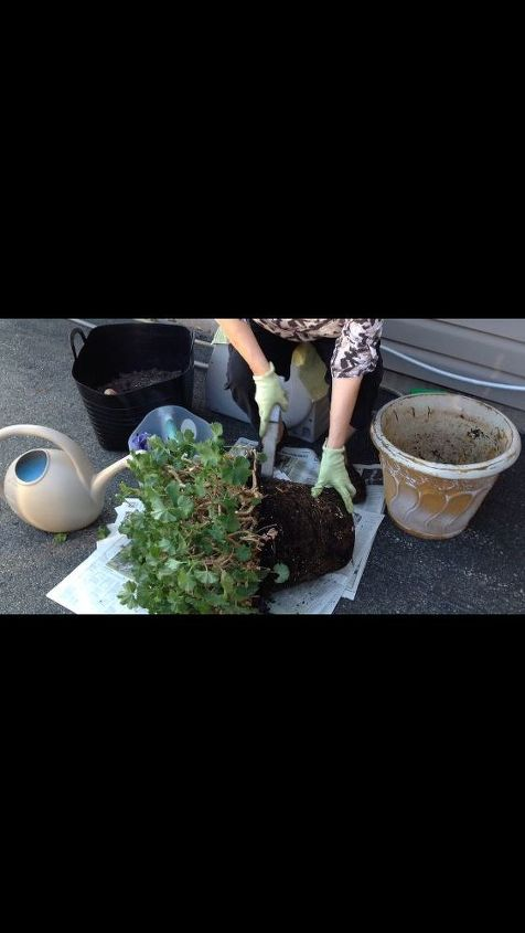Cutting through roots and soil to separate.