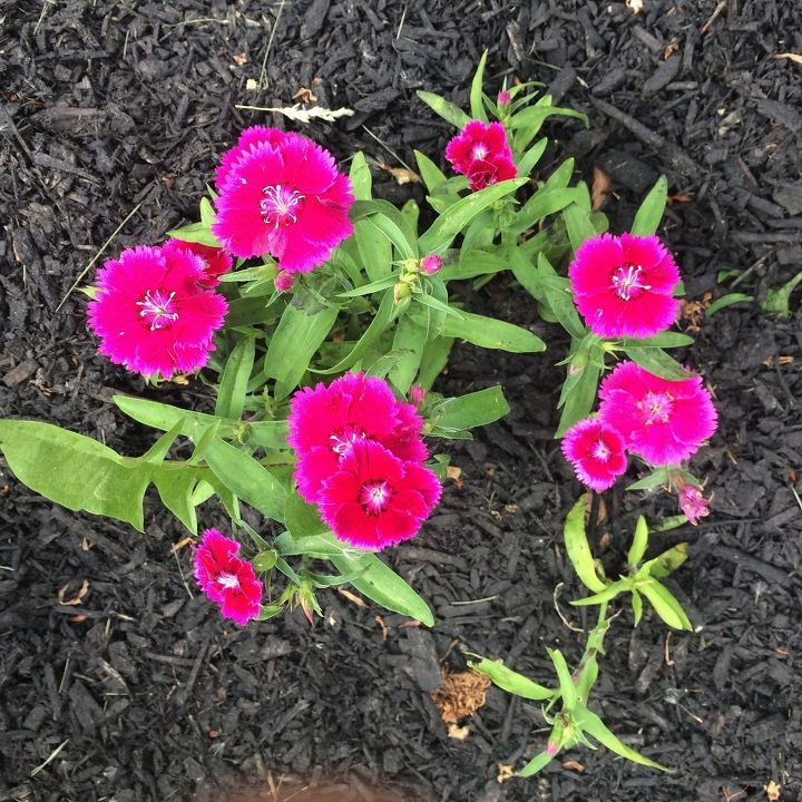 Pink perennial what flower is this hometalk q pink perennial id flowers gardening perennial what is this spring summer mightylinksfo