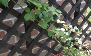diy rose trellis, flowers, gardening