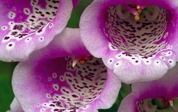 On Understanding the Lifecycle of a Biennial; in This Case, a Foxglove