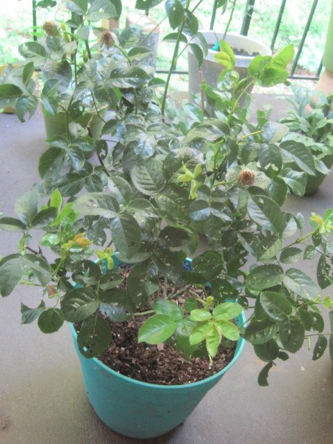 q how to keep bugs away from outdoor plants, gardening, pest control, bugs were eating holes all in it so I treated it with a DYI bug spray Than a week later I gave them Epsom salt