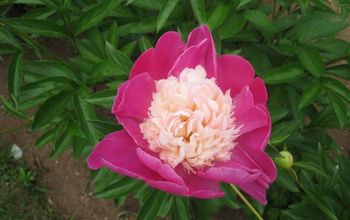 This Morning the Green Fists of the Peonies Are Getting Ready to Break My Heart