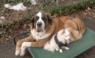 q how to keep a clean house with a saint bernard, cleaning tips, pets animals