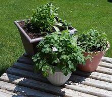 q columbine has little flowers, container gardening, flowers, gardening