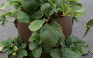 q problem with growing strawberries, container gardening, gardening