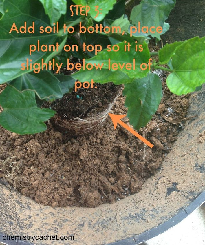 how to pot hibiscus step by step, container gardening, flowers, gardening, hibiscus, how to