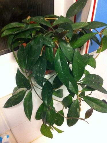 Can anyone tell me the name of this house plant please hometalk i have had this plant for best part of 15 yrs now its only ever mightylinksfo Choice Image