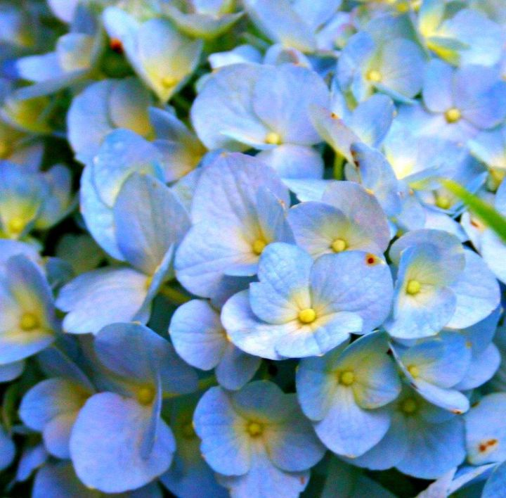 how to care for hydrangea, flowers, gardening, how to, hydrangea