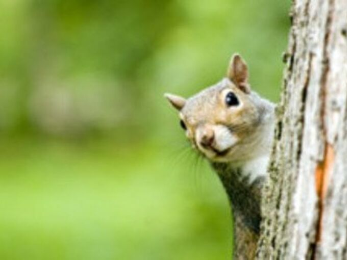 how to keep squirrels out of your attic, how to, pets animals