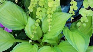 , Turquoise painted urn golden creeping jenny hosta