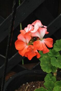 4 important summer tips for geraniums, flowers, gardening