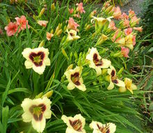 q what to do with dead daylily stems, flowers, gardening