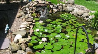 , My pond this yea r I ve had probably over 25 different lily blooms the hyacinths which are in the ring have now spread over the edges and I ve had to pull some out so I have a spot to feed the fish