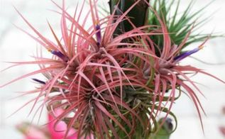 tips for growing air plants, container gardening, gardening, succulents