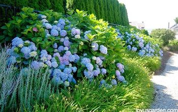 changing the color of hydrangeas, flowers, gardening, hydrangea, landscape
