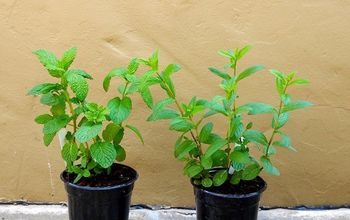 Mint Wonderful Mint: How To Care For & Plant This Fragrant Herb - See
