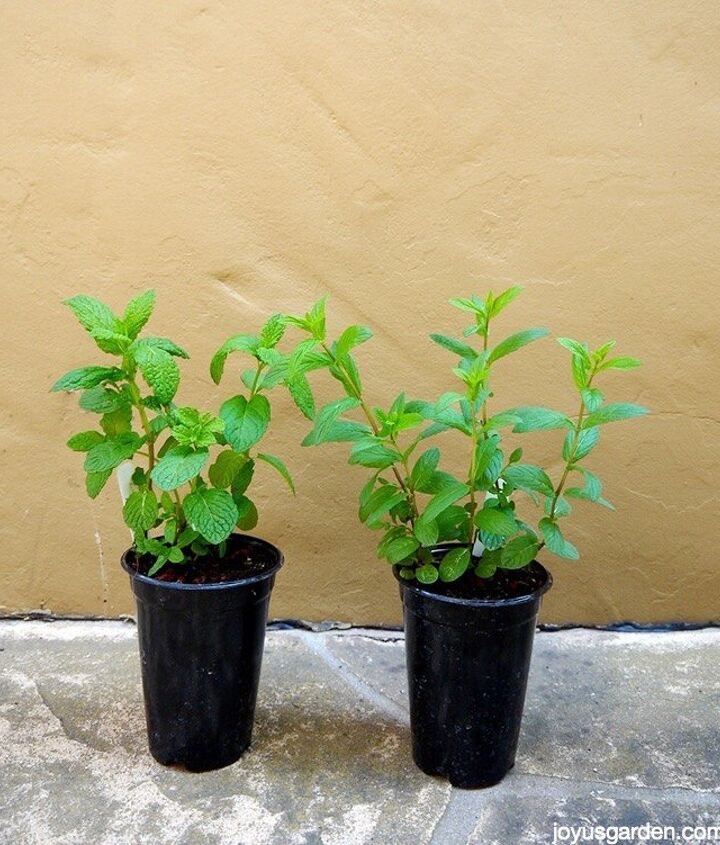 mint wonderful mint how to care for plant this fragrant herb see, gardening, how to, outdoor living