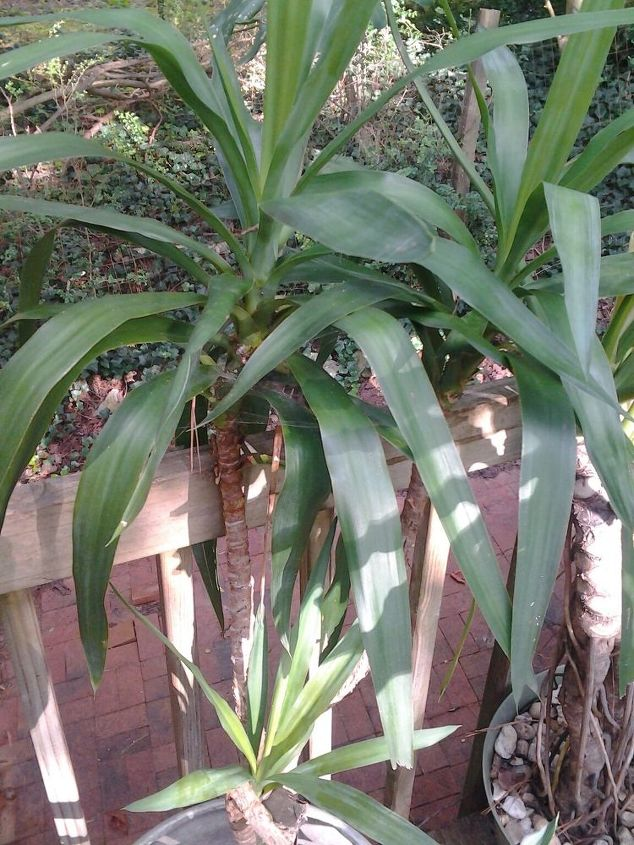 q what is the name of this plant i was told the name once, gardening