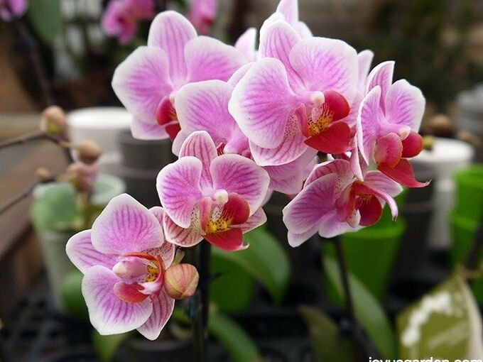 how to care for your beautiful phalaenopsis orchid, flowers, gardening, how to