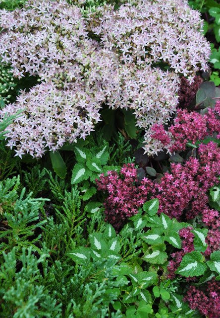 favourite autumn sedums, gardening