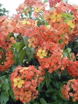 Name this creeper hometalk its a common creeper i see around all the time here in malaysia big bunches mightylinksfo