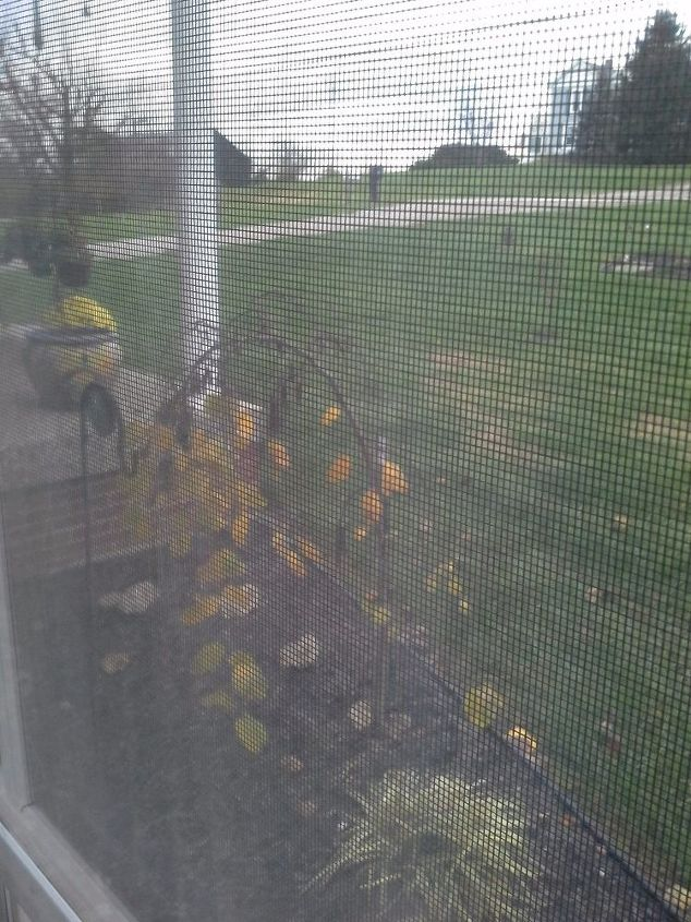 q how do i prune a weeping redbud, gardening, plant care, It was cold out so I hope you can see through the window at what I am asking about