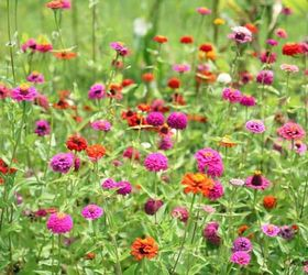 How To Grow Zinnias, Flowers, Gardening, How To