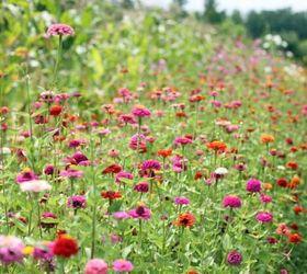 How To Grow Zinnias, Flowers, Gardening, How To