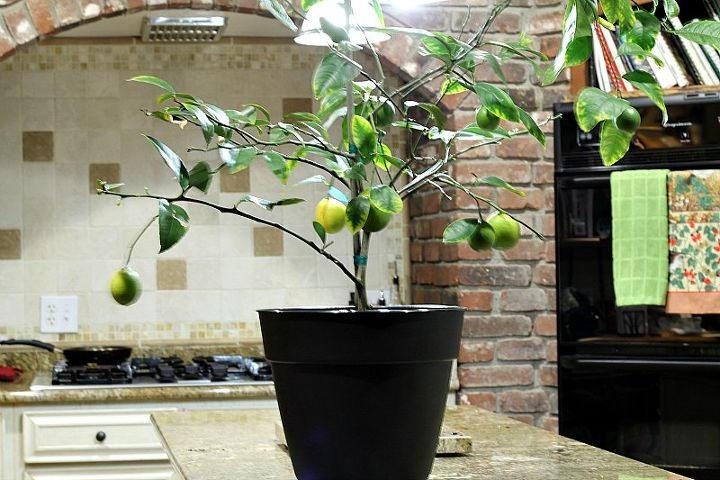 repotting my dwarf meyer lemon tree, container gardening, gardening, how to