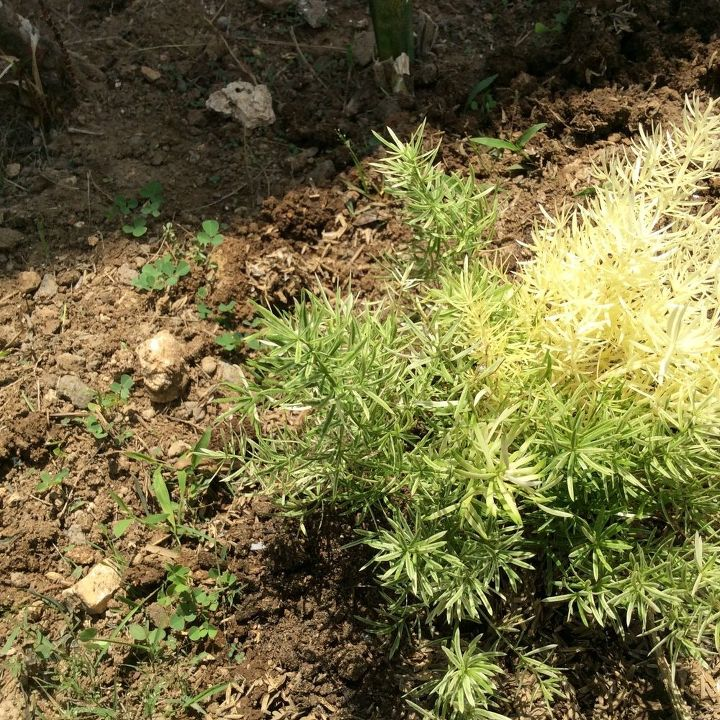 q name that plant please, gardening, plant id, Will this spread