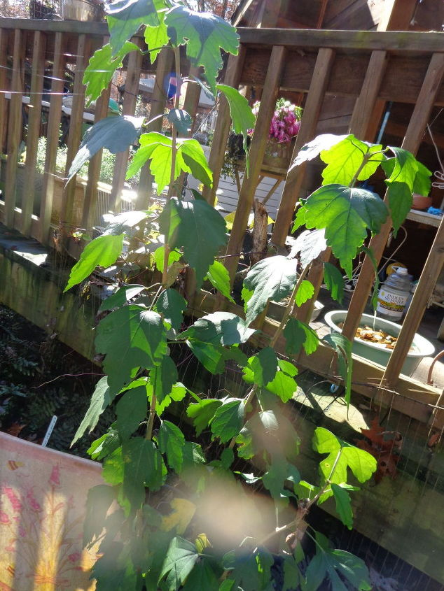 q plant identification id name this plant, gardening, plant id, Very tall maybe 4 5 feet tall