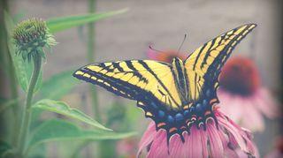growing garden of love, flowers, gardening, Swallow tail butterfly