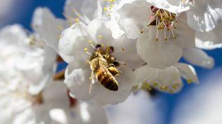 growing garden of love, flowers, gardening, Bees in the plum tree