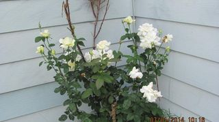 , The back stalks were gone in in this pic but the rest in full bloom