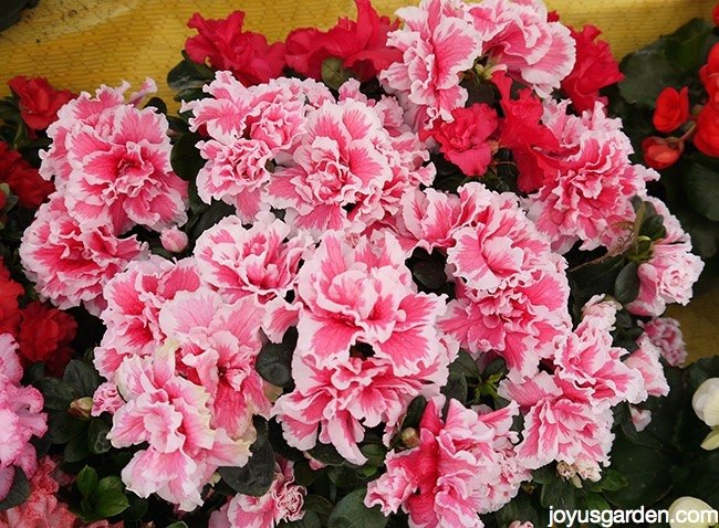 13 blooming plant choices for christmas other than poinsettias, christmas decorations, flowers, gardening, hydrangea, seasonal holiday decor, succulents