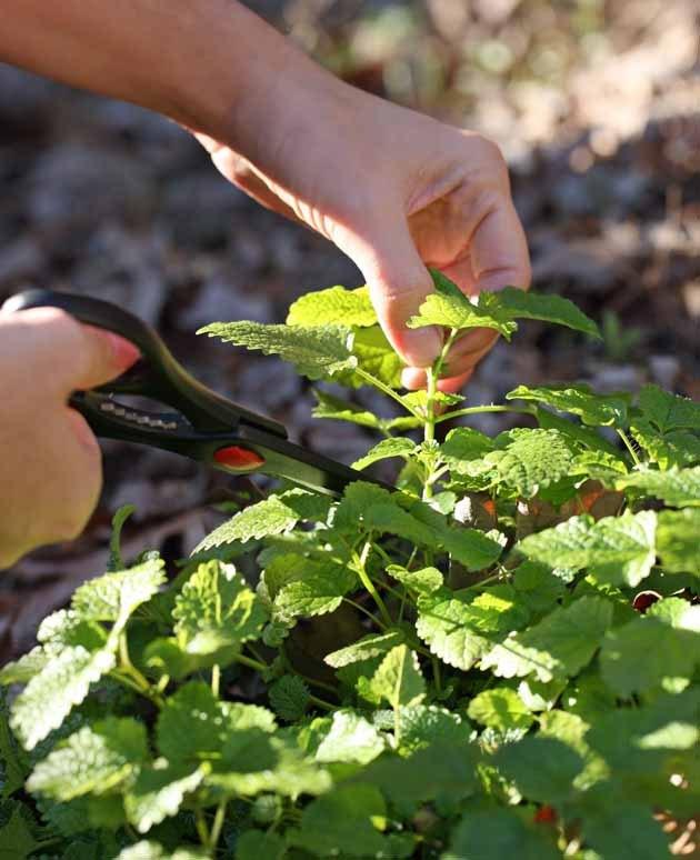 how to grow vietnamese mint