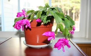 caring for christmas cactus, container gardening, gardening