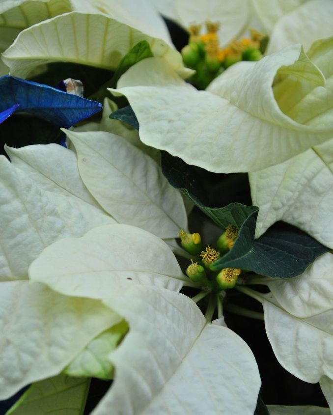how to care for a poinsettia, flowers, gardening, how to