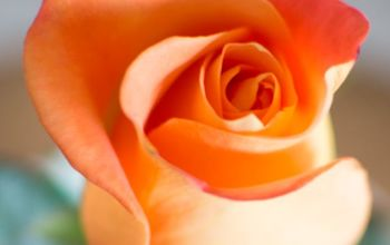 make those grocery store roses look like garden roses, container gardening, flowers, gardening